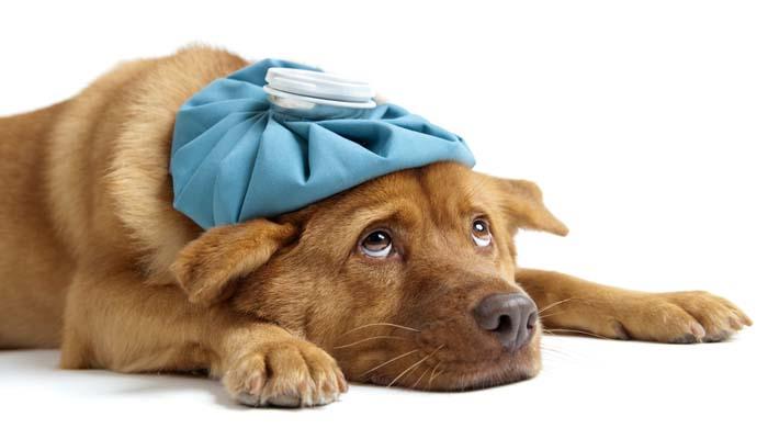 dog illness