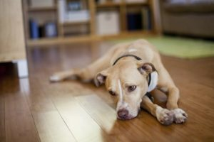 εμετός ή παλινδρόμηση σκύλου