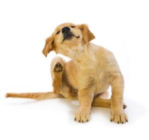 κνησμός σκύλου
