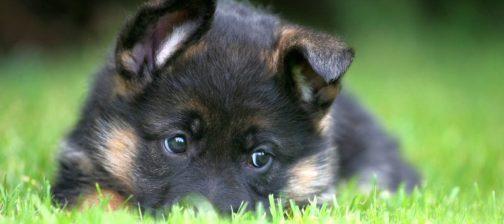 Οι αλλεργίες και οι τροφές οι συχνότερες αιτίες της σκυλίσιας δερματίτιδας