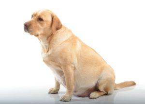 διατροφή της σκυλίτσας σου που είναι έγκυος
