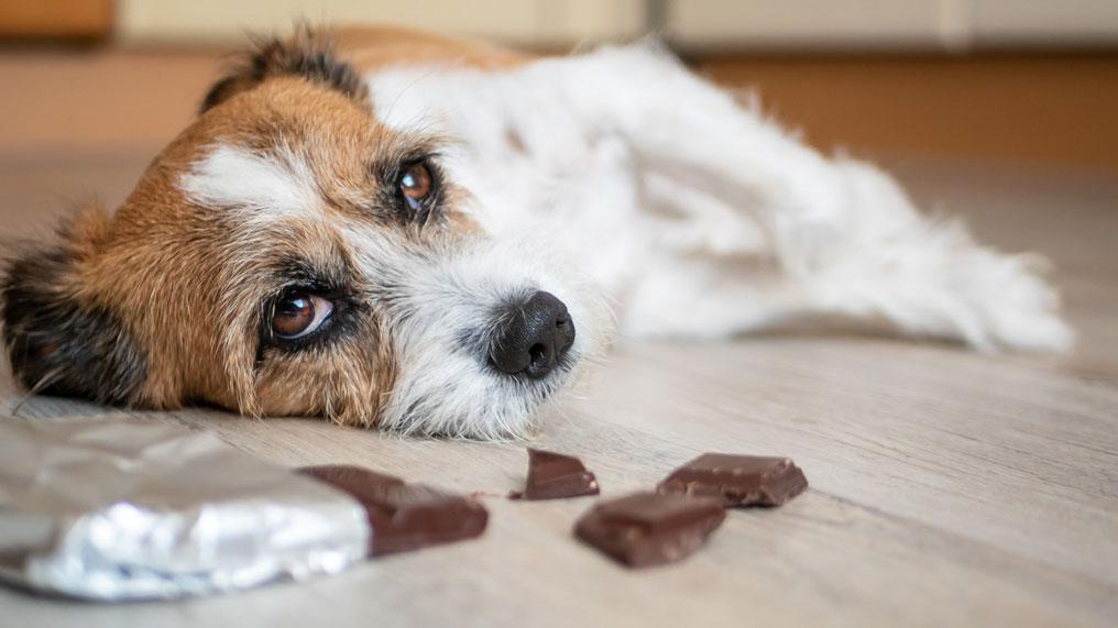 Τι συμβαίνει εάν ένα σκυλί τρώει σοκολάτα;