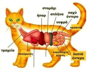 Το έντερο του της γάτας
